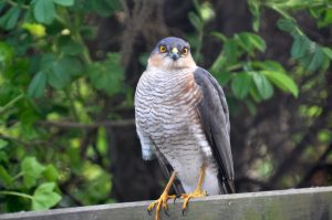 Sparrow Hawk in the Secret garden